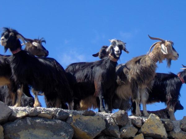 Viehmarkt und Prozession in La Orotava, Teneriffa, 2008