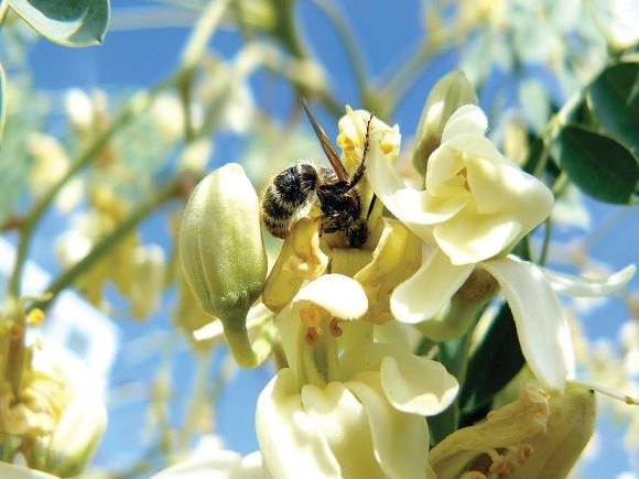 Moringa Garden lässt neuerdings auch Bienen Nektar aus den Moringablüten sammeln, um einen besonderen Honig zu gewinnen.