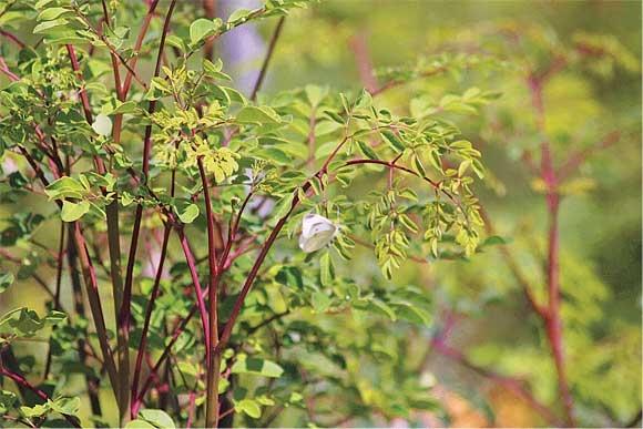 Moringa – ein Füllhorn aus der Natur für mehr Gesundheit und Vitalität.