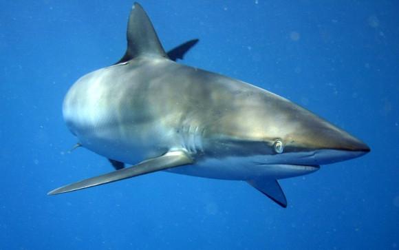 Ein Seidenhai, wie er vermutlich in Las Américas gesehen wurde. Vorsicht ist angebracht, Panik aber nicht.