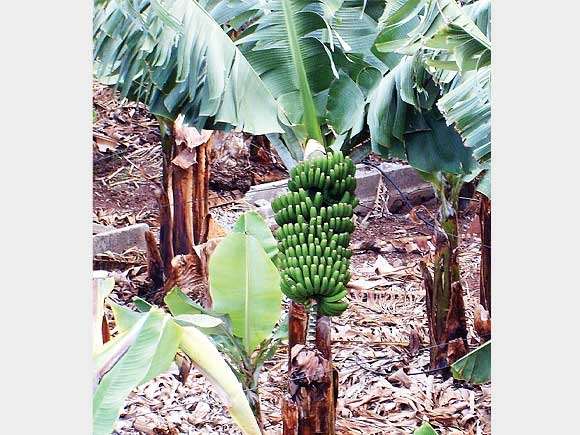 Die grüne Banane ist offenbar viel gesünder und vielseitiger als bisher angenommen.