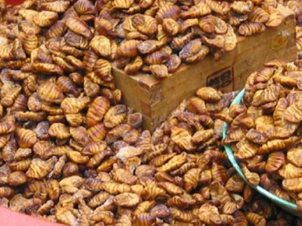 The lava of the silk worm ready for processing