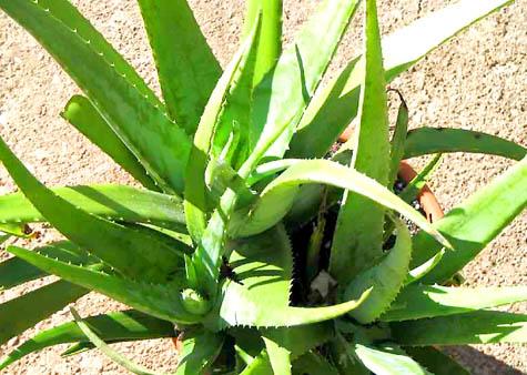 Die Aloe Vera-Pflanze wird wegen ihrer heilenden Wirkung geschätzt