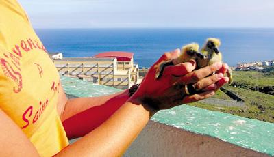 Taubenküken über dem Ozean