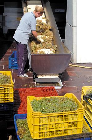 Die Trauben werden sorgfältig überprüft und ausgewählt