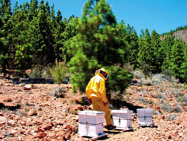 Im Frühling und Sommer werden transportable Bienenkörbe in den Hochebenen Teneriffas aufgestellt