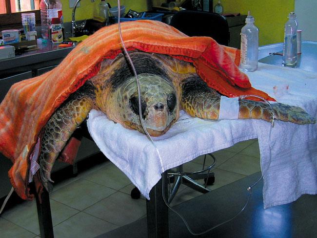 Schildkröte während eines OP-Termins