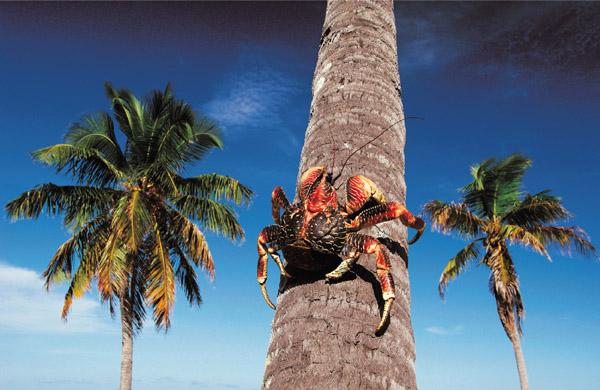 Krebs auf Kokospalme