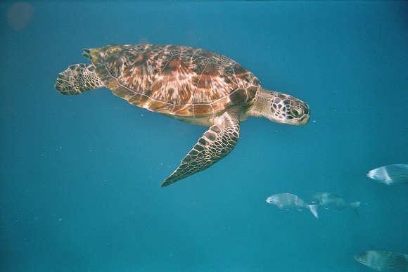 Die Grüne Meeresschildkröte steht weltweit unter Schutz, wird aber trotzdem weiterhin gejagt.