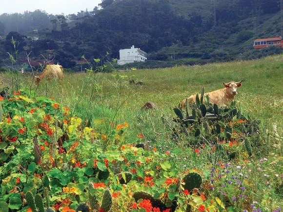 Freilaufende Kühe, wie hier in Valle Guerra, können den Bedarf der Kanaren nicht decken. Für die WHO besteht das Problem dieses Mal auch nicht in der Haltung.