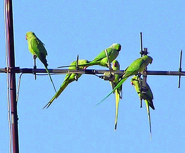 The parakeet feeds on fruit