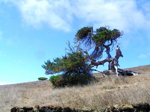 Wacholderbäume sind das Wahrzeichen von El Hierro