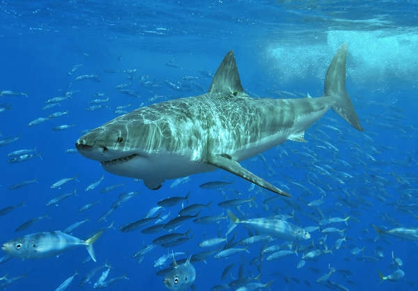 Im Mittelmeer vermuten Zoologen sogar die größte Population weißer Haie weltweit. Gesehen werden sie nur selten.
