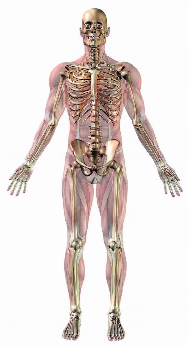 Das menschliche Skelett hat ca. 205 Knochen, die Anzahl variiert von Mensch zu Mensch