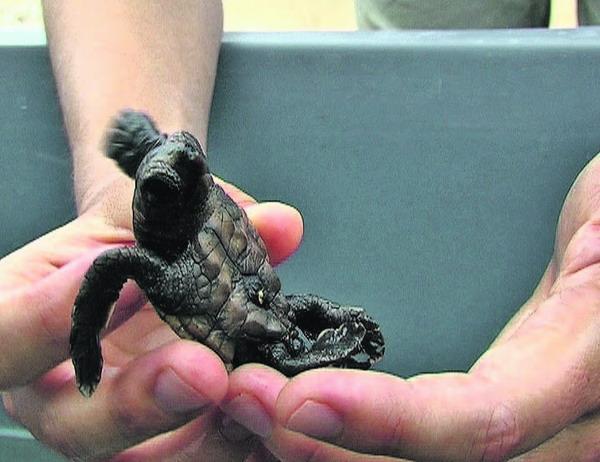Nachdem die Schildkröten-Babies geschlüpft sind, kommen sie in einen