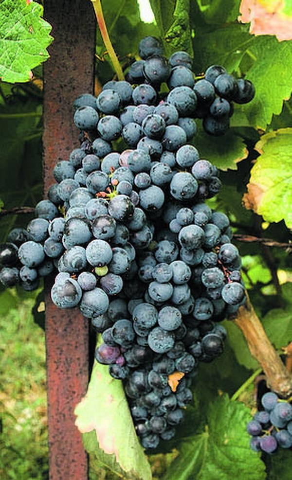 Im Herbst ist auf Teneriffa Weinlesezeit