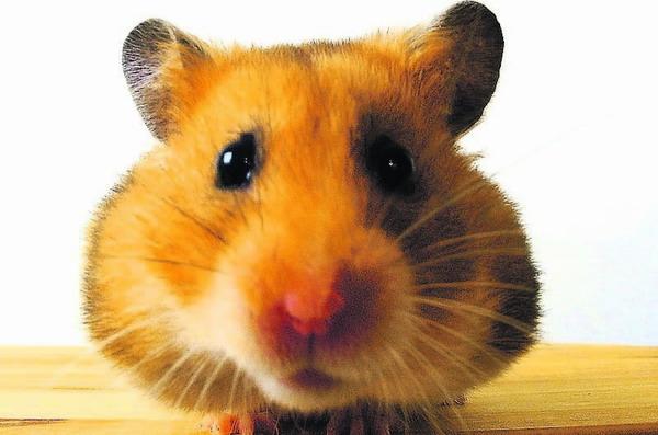 flug der hamster
