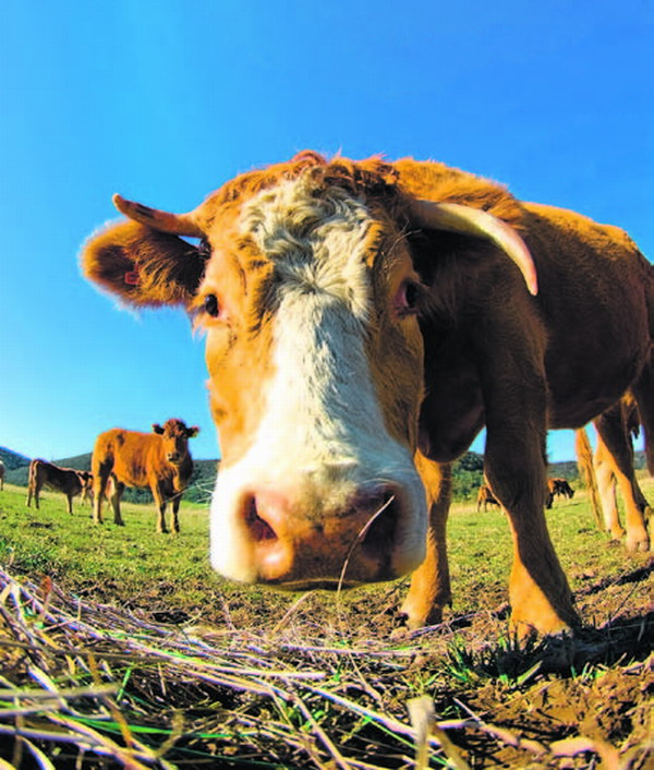Wer hätte es gedacht - aus den Exkrementen von Kühe kann man Vanillearoma gewinnen