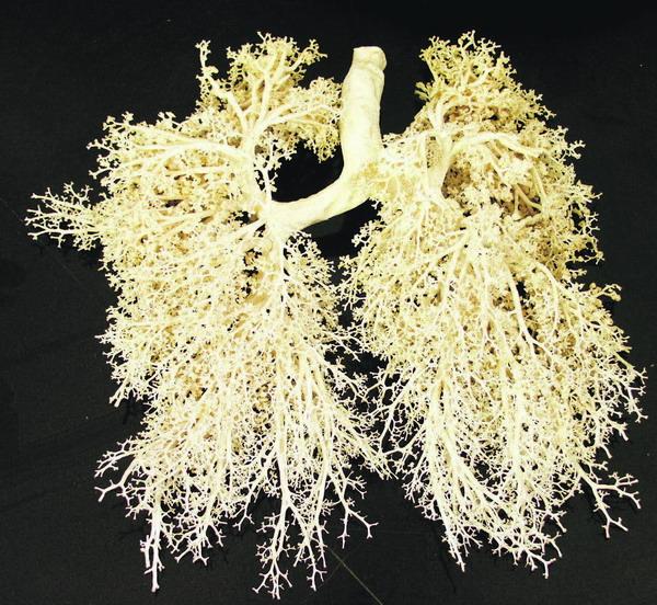 Wunderwerk und Hochleistungsmaschine: die Lunge