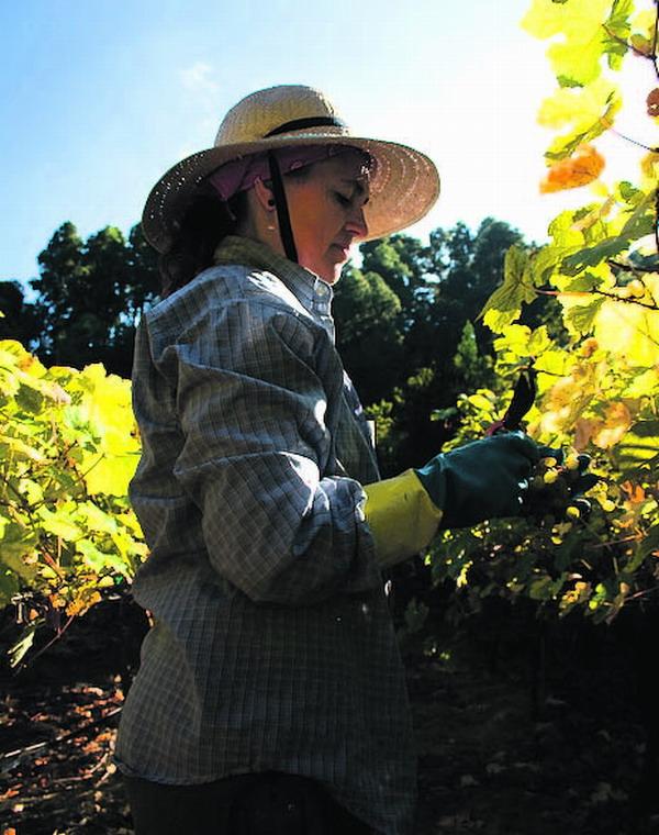 Auf den Kanaren gibt es keine Reblaus. Dadurch können Traubensorten erhalten werden, die weltweit einzigartig sind