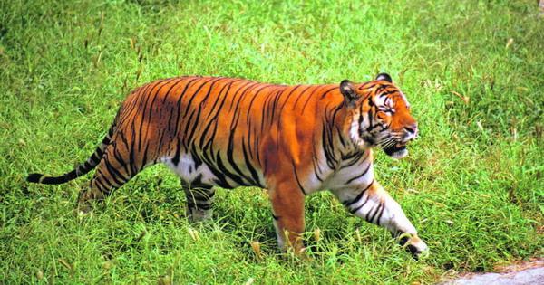 Das Überleben dieses Tigers, dessen Art bereits als als ausgestorben galt, gibt Tierschützern wieder Hoffnung.
