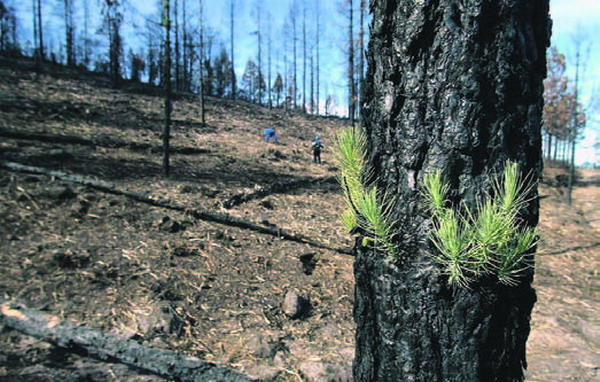 Rund 200 Arbeiter werden eingesetzt, um in den von den Bränden Ende Juli betroffenen Wäldern auf Teneriffa Erosion zu verhindern