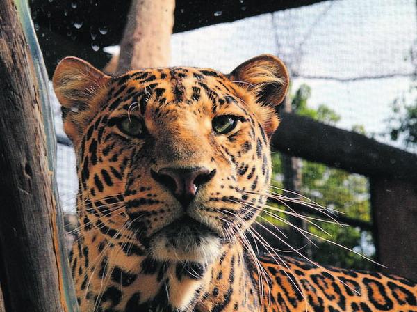 Geschmeidige Bewegungen, die die dahinterliegende Kraft, nur vermuten lassen, zeichnen die Wildkatzen aus.