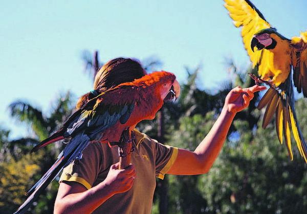 Obwohl es ein leichtes wäre, dem Park zu entfliegen, scheinen die Papageien die Schulter ihrer Trainer zum Lieblingsplatz erkoren zu haben