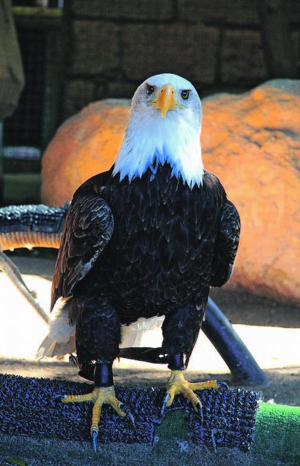 Die majetätische Eleganz des Weisskopfadlers löst Respekt und Bewunderung aus.