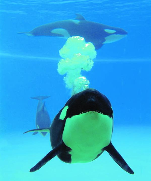 Die intelligenten Schwertwale bieten eine spektakuläre Show
