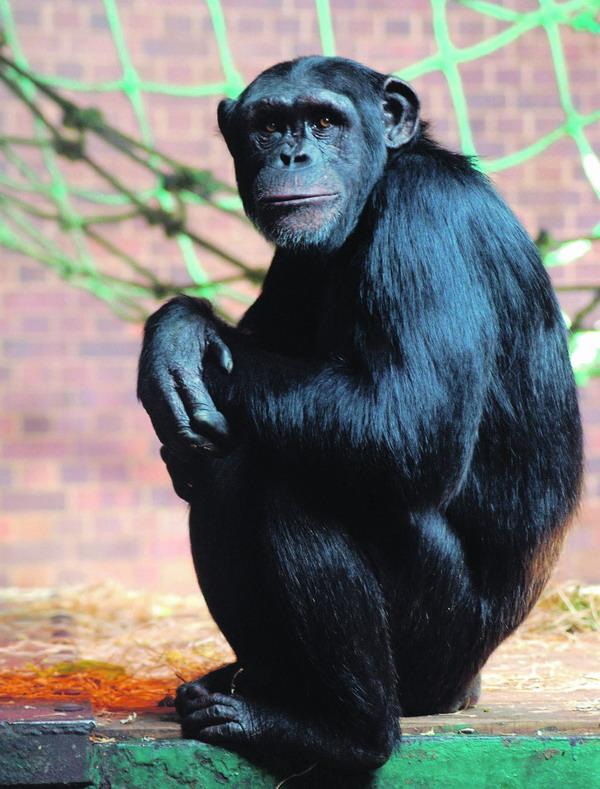Nächster Verwandter des Menschen: der Schimpanse