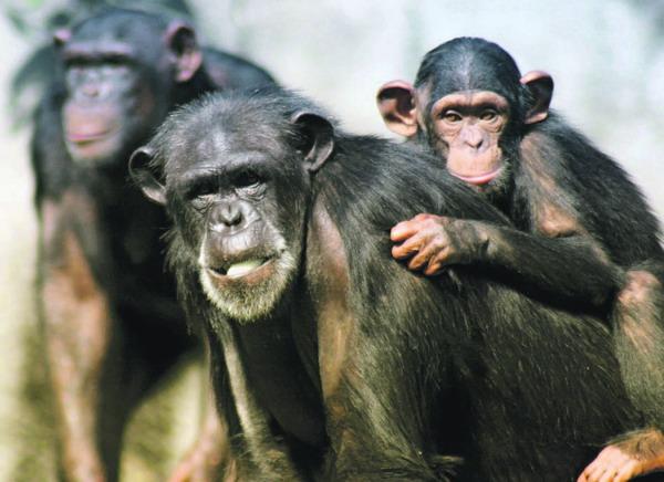 Menschenaffen haben viel Sozialverhalten