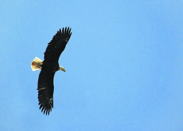 Traumsymbol Adler: Synonym für Freiheit und Ungebundenheit