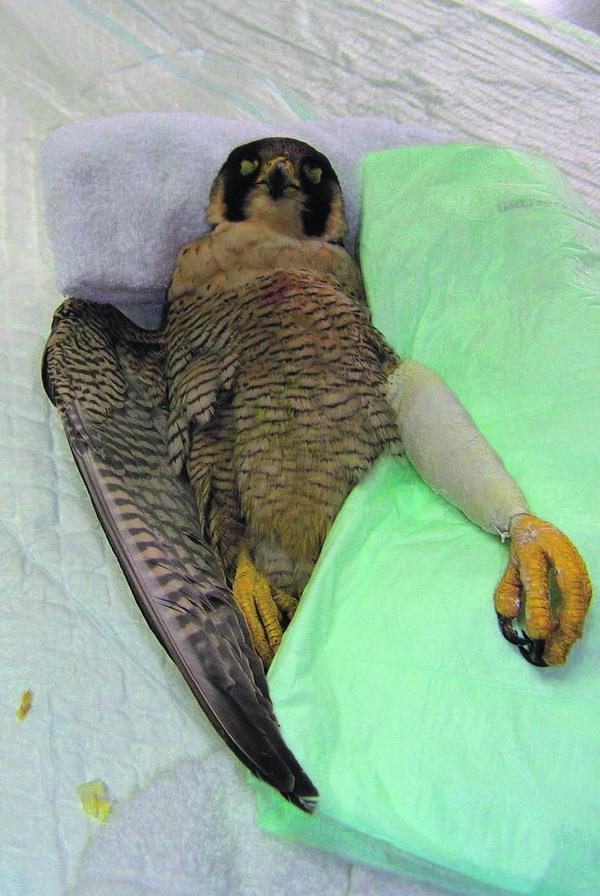 Das Falkenweibchen muss nach überstandener Operation noch rund drei Wochen im Zentrum Fauna Silvestre bleiben, bevor es in die Freiheit entlassen wird