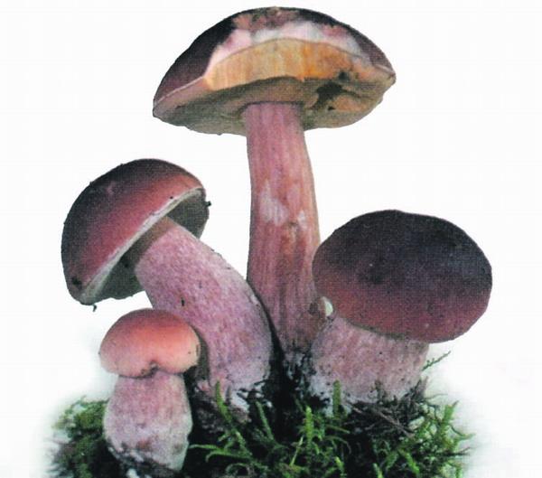 Eine beliebte Delikatesse für den Pilzsammler ist der Steinpilz, der auf La Palma im Kiefernwald vorkommt