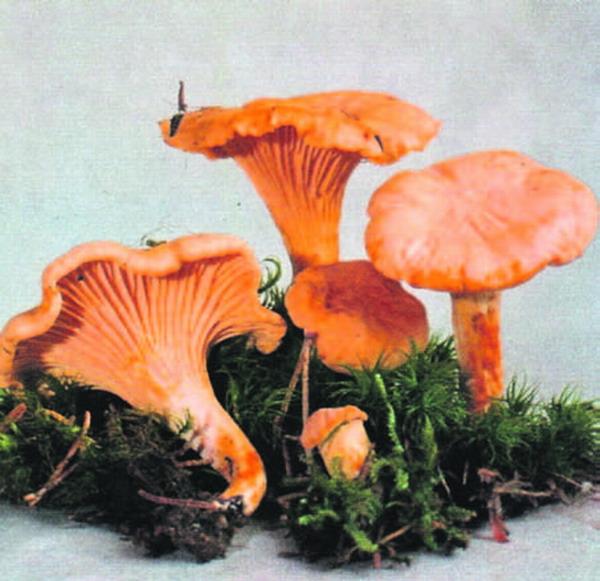 Der Pfifferling (Speisepilz, der auch Rehling oder Eierschwamm genannt wird) erscheint vorwiegend unter Esskastanien