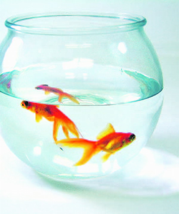Ungewöhnlich und heiß geliebt: Goldfische