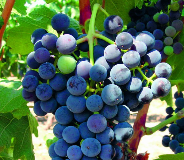 Tempranillo grape is common to much of the Rioja region