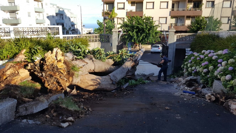 Der Ficus-Riese war vor der Schultür umgeknickt.