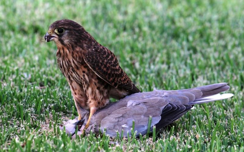 Junger Falke auf Beutezug.