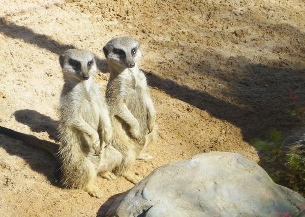 5 Erdmännchen ziehen im Loro Parque ein