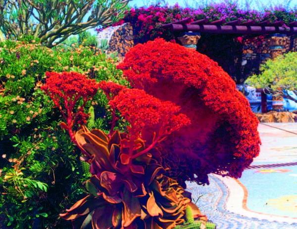 """Die """"Rotblütige Hauswurz"""" mit dem vornehmen lateinischen Namen """"Aeonium nobile"""" gehört ebenfalls zu den Dickblattgewächsen und stellt sich als schönster Vertreter ihrer Gattung dar."""