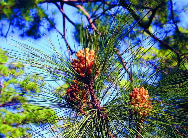 Nach dem Öffnen nehmen die Kiefernzapfen (Kienäpfel) eine breite eiförmige Gestalt an und zeigen sich in glänzend nussbrauner Farbe.