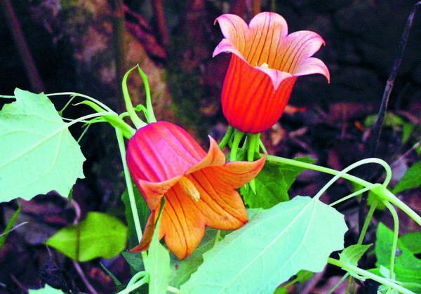 """Die """"Kanaren-Glockenblume"""" kommt im Unterholz der Fayal-Brezal-Zone vor."""