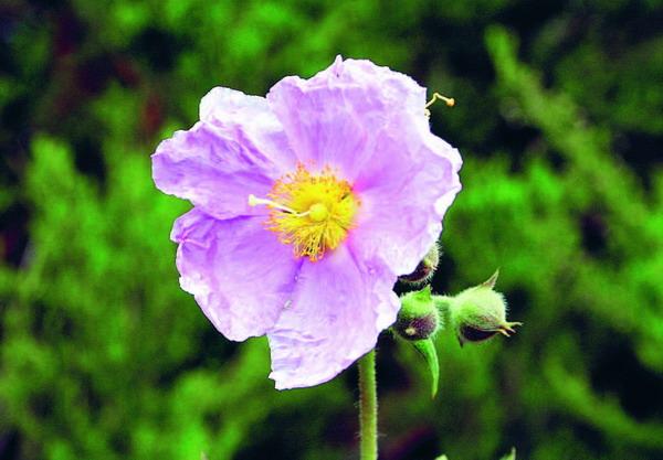 """In Verbindung mit der Kiefernvegetation steht die """"Zistrose"""", die vor allem in den Frühlings- und Sommermonaten blüht."""
