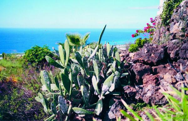 """Der """"Feigenkaktus"""", der aus der Kakteenfamilie der """"Opuntien"""" stammt, diente als Wirtspflanze für die Zucht von """"Koschenille""""-Läusen."""