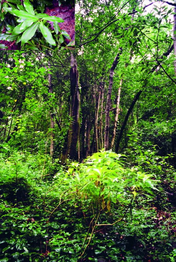 Die Blätter der Lorbeerbäume beziehen ihre Feuchtigkeit aus den Passatwolken.