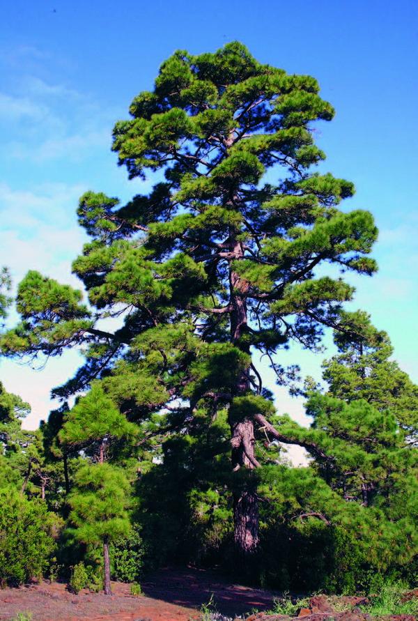"""Das harte und dunkle Kernholz der """"Kanarischen Kiefer"""" (Teaholz) gilt auch heute noch auf dem Baumarkt als Besonderheit."""
