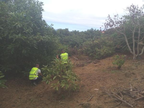 Polizisten müssen immer wieder auf Avocadoplantagen auf Spurensuche gehen.