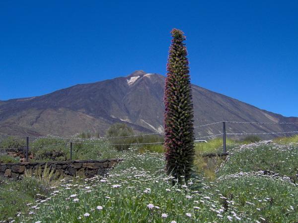 Tajinaste - Der rote Teide Natternkopf - Parque National del Teide